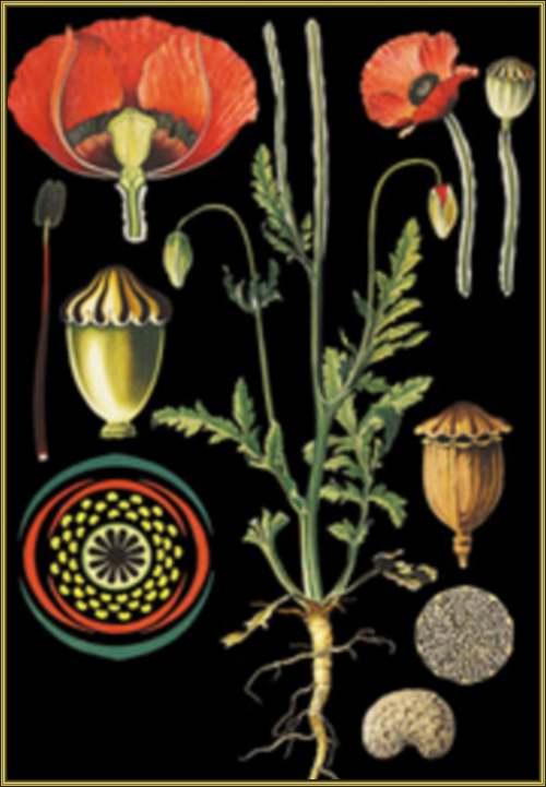 Vertus médicinales des plantes sauvages : Coquelicot