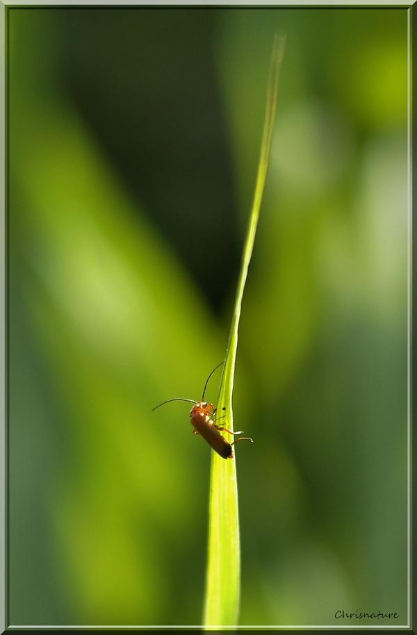 Le Téléphore fauve (Rhagonycha fulva),