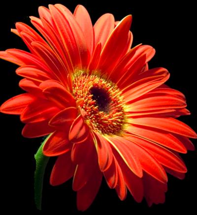 Fleur marguerite,gerbéra /1