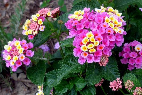 Les fleurs du lantana ...