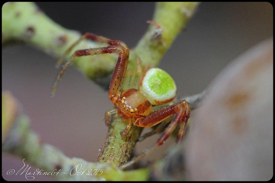 Araignée : Ebrechtella tricuspidata