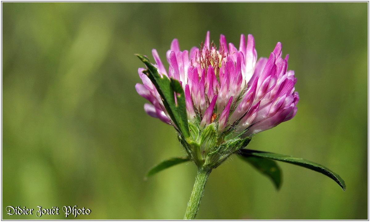 Trèfle des Prés (3) - Trifolium pratense
