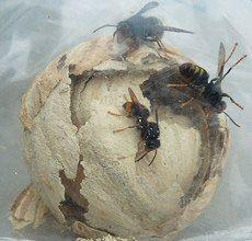 frelon asiatique construction du nid
