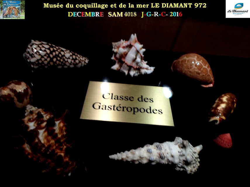 Le monde des coquillages de mer   1/5  1/    LE DIAMANT MARTINIQUE       D    31/03/2016