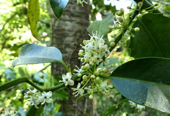 Ilex aquifolium - Houx commun