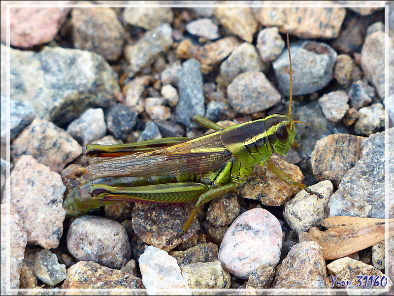 Criquet Mélanople birayé, Two-striped grasshopper (Melanoplus bivittatus) - Cap Tourmente - Saint-Joachim - Québec - Canada