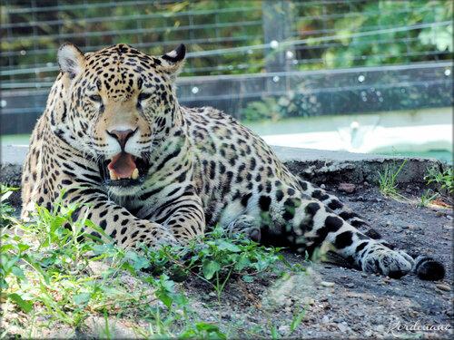 Photo de Jaguar au Zoo de Pessac