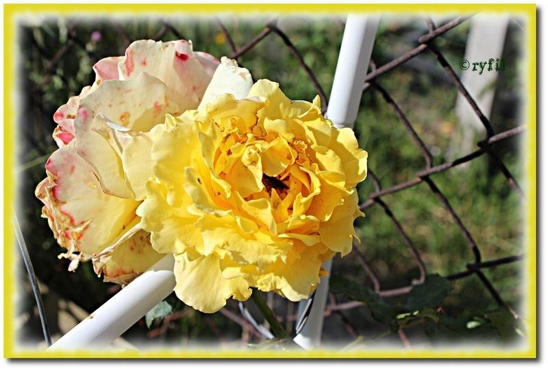 Après les légumes, les fleurs au jardin