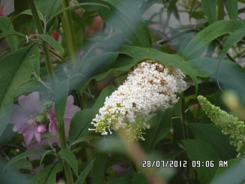 Buddléia blanc