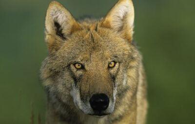 Campagne pour la connaissance et la protection du Loup