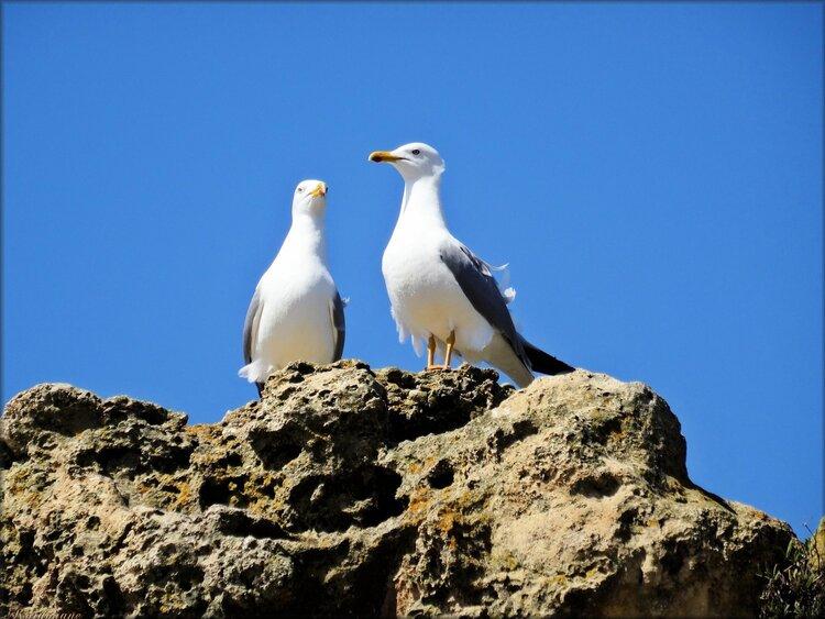 Photo de couple de goélands à Biarritz