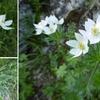 Anémone à fleurs de narcisse (Anemone narcissiflora)