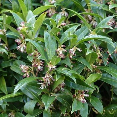 Un arbuste en hiver : le sarcococca humilis...