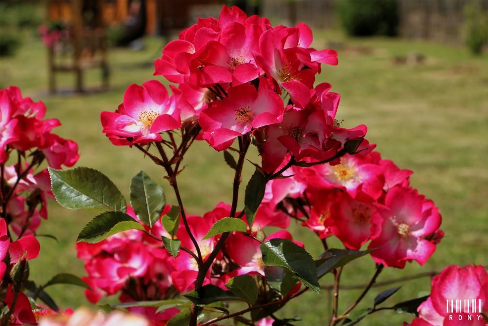 Le jardin des roses : Part.3