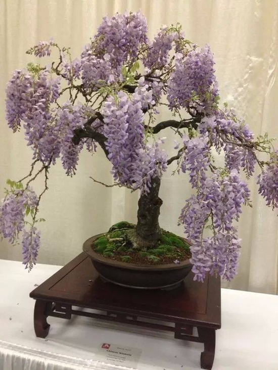 Glycine bonsai