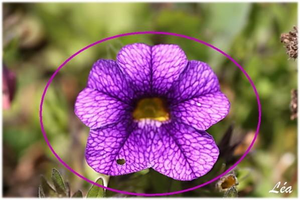 Fleurs-2-1749-petunia-violet.jpg