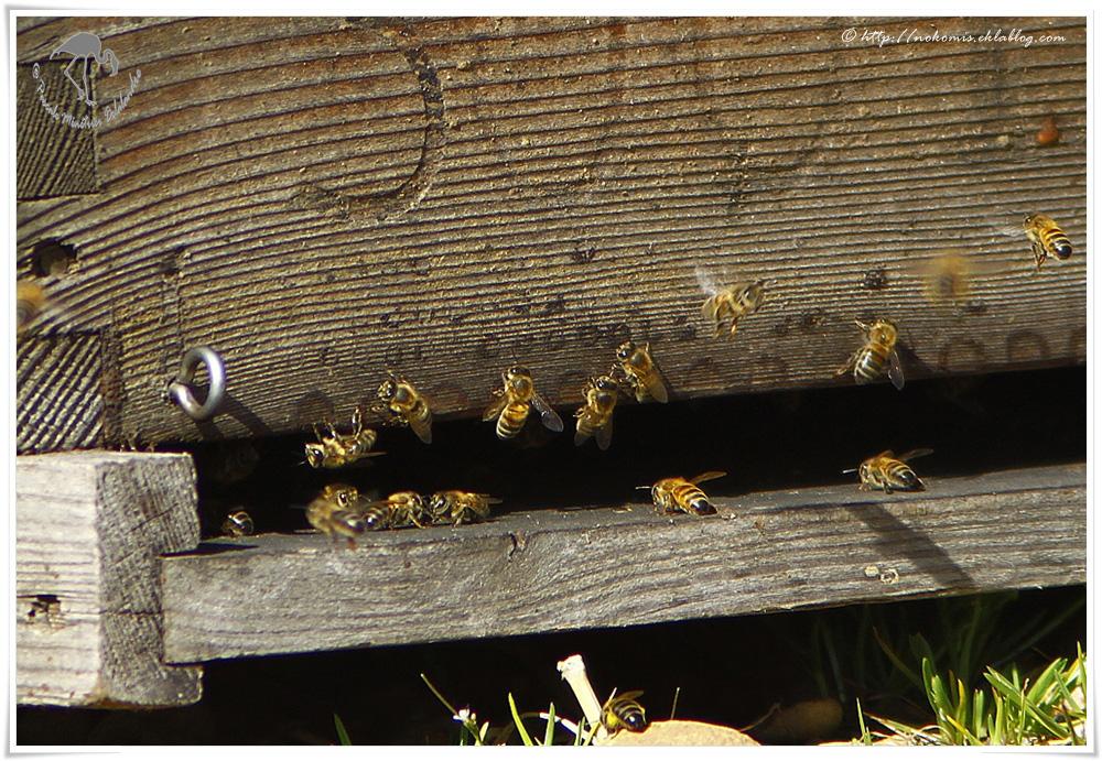 Apis mellifera  - Abeilles mellifères