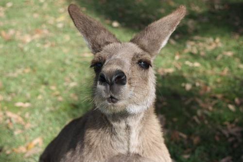 Asutralie - La revanche des koalas (Episode I)
