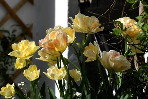 Tulipes Charming Lady1