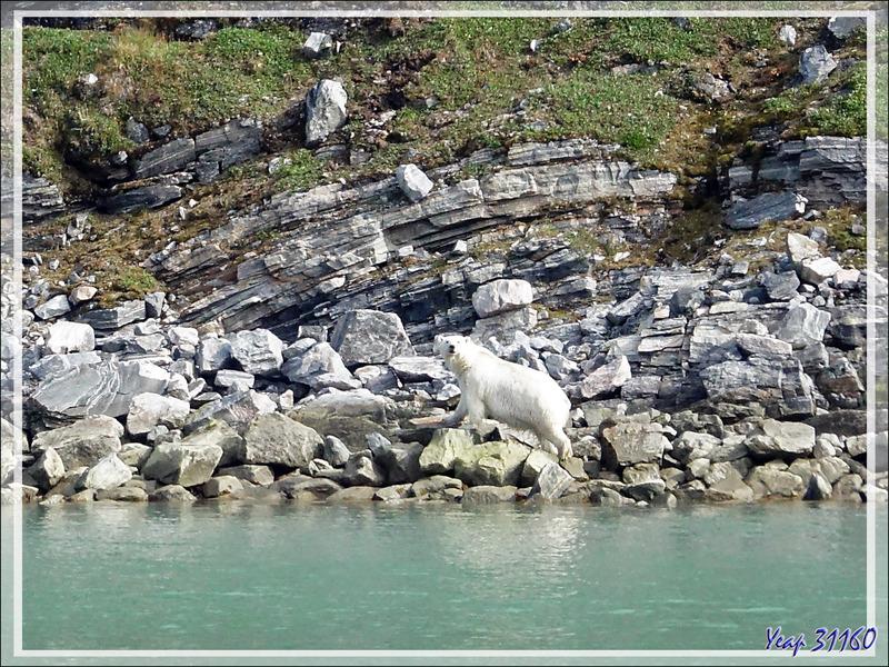 Sortie du bain pour l'ours polaire - Icy Fjord - Nunavut