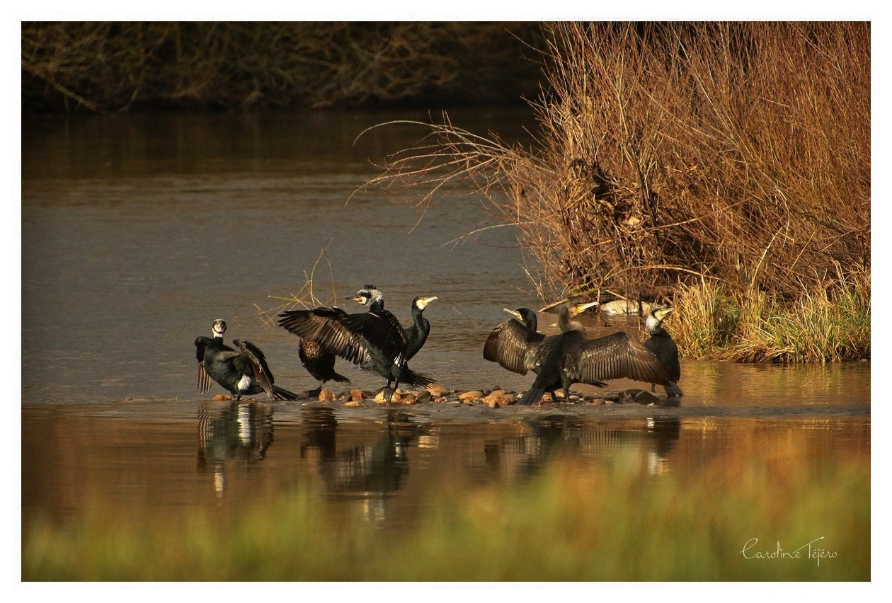 Grands Cormorans en nuptial