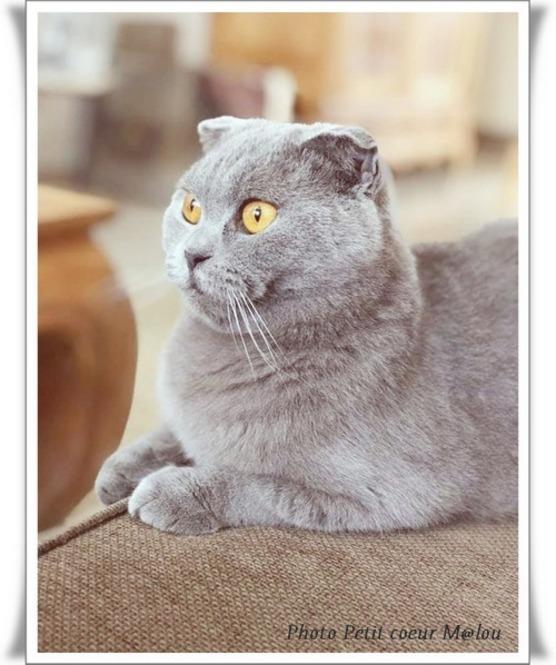 Le caractère du chat Scottish Fold