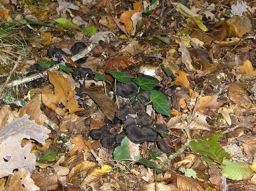 Petits champignons noirs