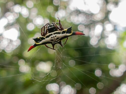 Araignée (Gasteracantha rubrospinis.) - Cliquer pour Agrandir
