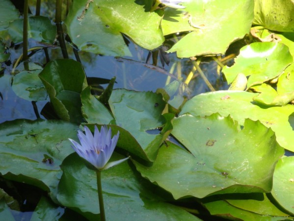 Palerme, Jardin botanique, Nénuphars 2