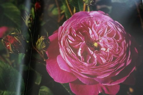 André Eve, le jardinier des roses
