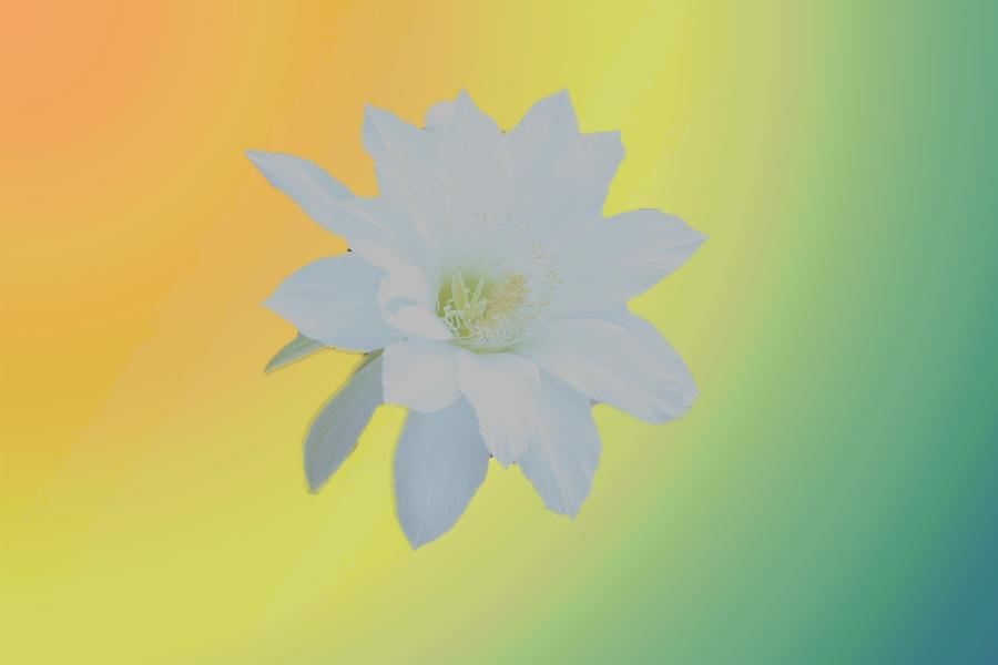 Fleur de cactus du 14 juillet 2017