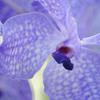orchidee-violette.jpg