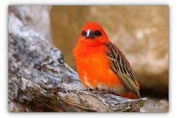 Foudji rouge - Parc des Oiseaux