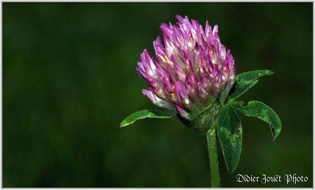 Trèfle des Prés (2) - Trifolium pratense