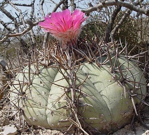 Echinocactus horizonthalonius 1 big
