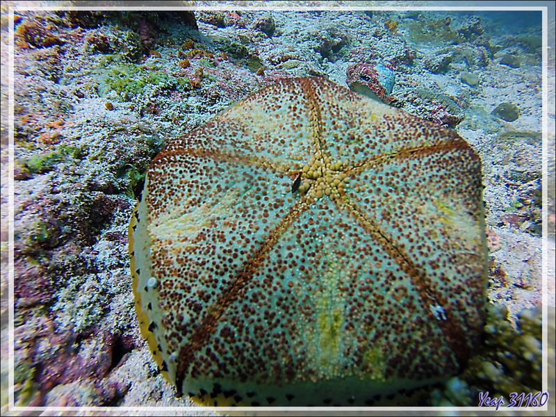 Etoile-coussin ou coussin de requin, Cushion-star or pillow starfish (Culcita schmideliana) recto et verso et crevette commensale - Moofushi Kandu - Moofushi - Atoll d'Ari - Maldives