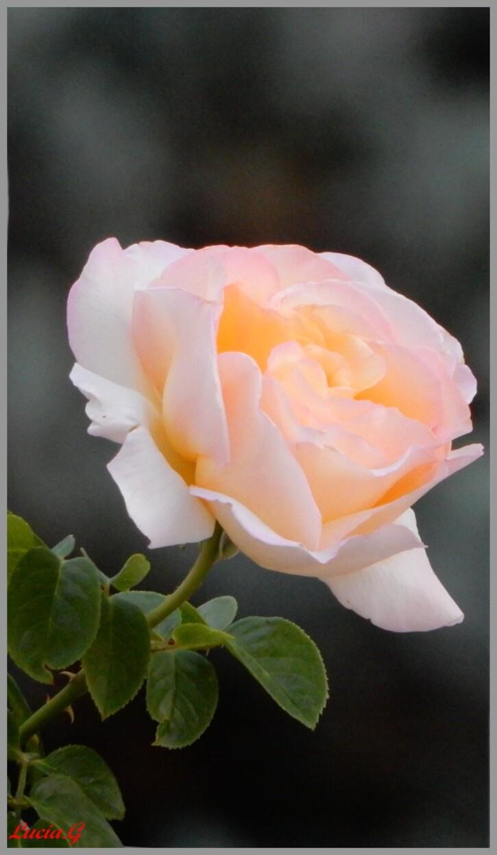 Cette rose.....