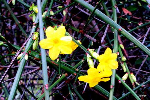 Mon jasmin jaune