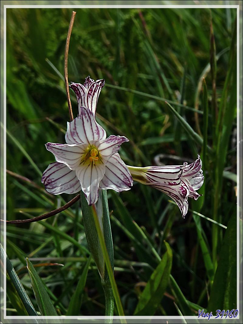 Olsynium strié, Campanilla, Streaked Maiden (Olsynium Biflorum) - Parque Torres del Paine - Patagonie - Chili