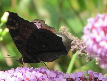 les-papillons-5511.JPG