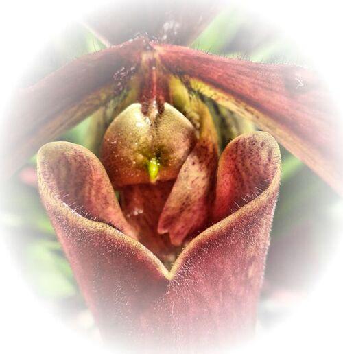 Cœurs d'orchidées
