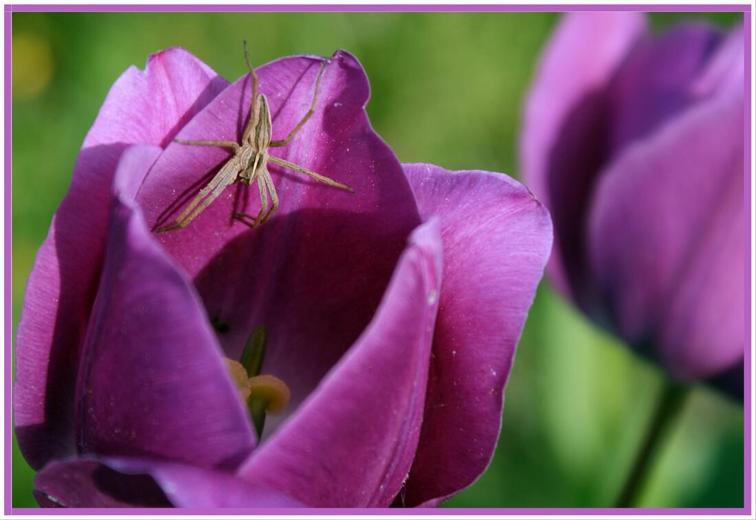 Araignée sur Tulipe