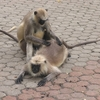 animal_monkey_couple