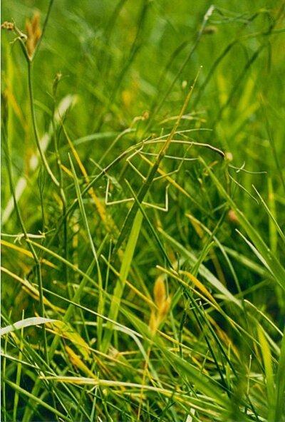 phasme caché dans l'herbe