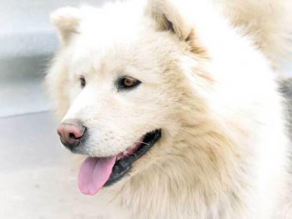 Races de chiens:  Groenlandais ou chien esquimau