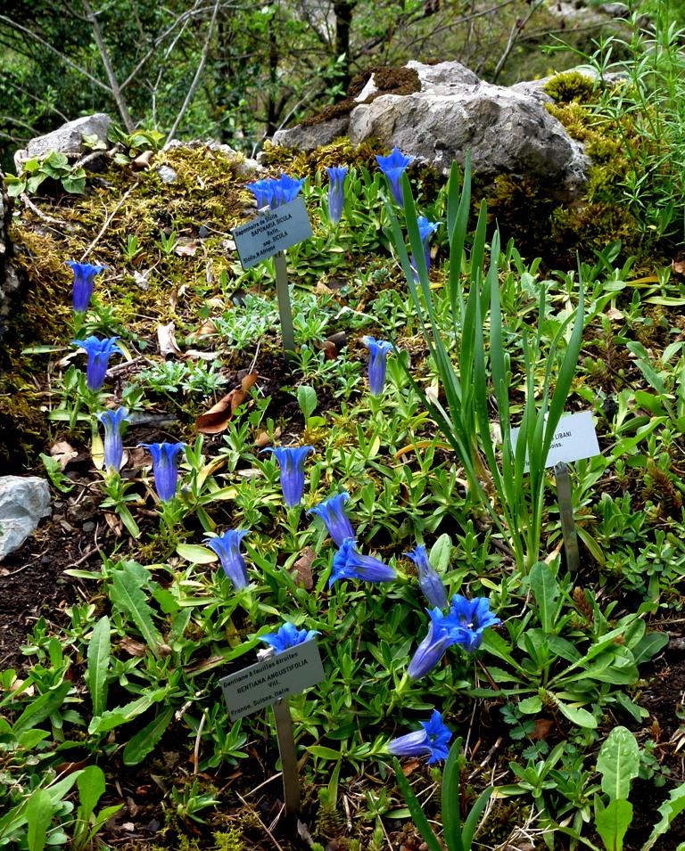 SAMOËNS et son jardin botanique : la Jaÿsinia.