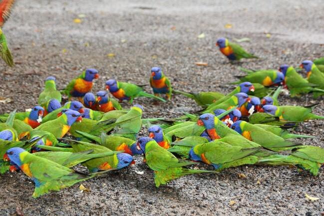 perroquets-vert-Clairview--6-.jpg