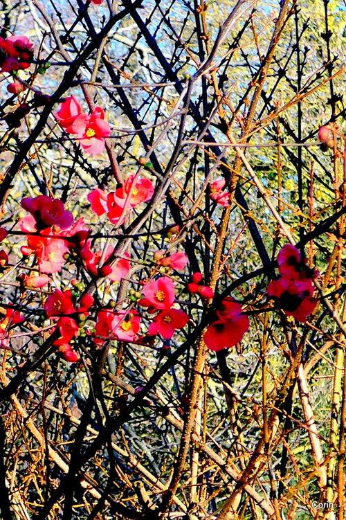 Les fleurs du pommier du Japon