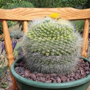 Notocactus Graessneri au bout de 2 ans