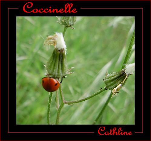 coocinelle